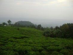 Perkebunan teh Medini