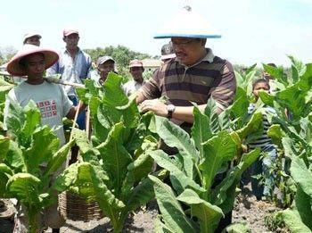 Agrowisata Tembakau Jember