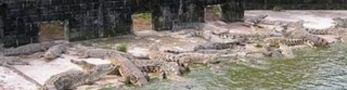 Juwata Breeding Crocodile