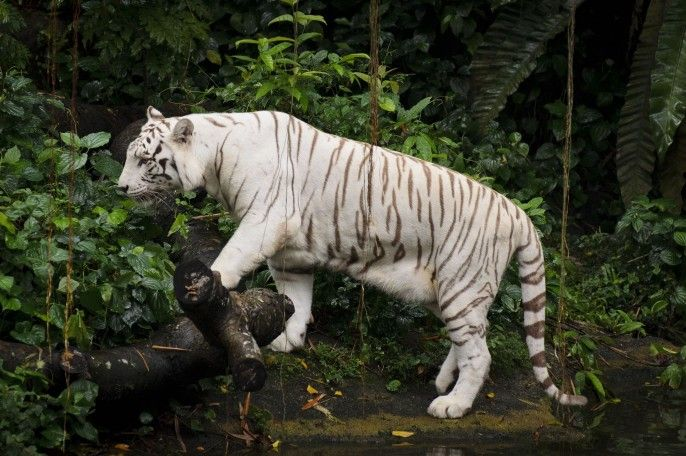 harga tiket Singapore Zoo Admission with Unlimited Tram Ride