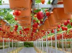 Kebun Strawberry